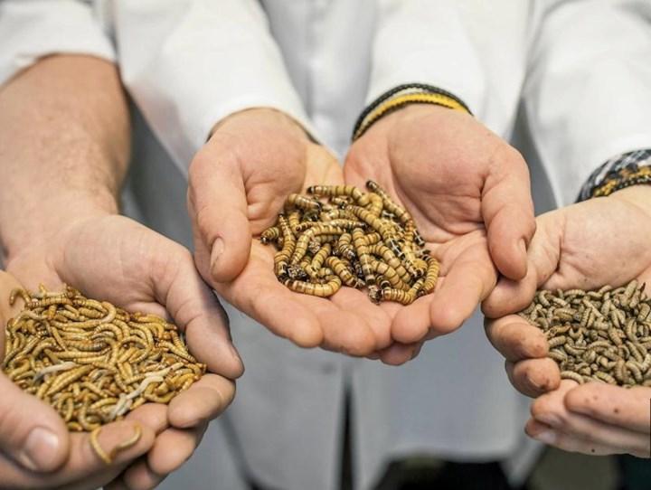 Bu Avrupalı Şirket, Balık ve Tavuk Üretiminde Çevreye Verilen Zararı Önlemek İçin Larva ve Böcekleri Kullanıyor