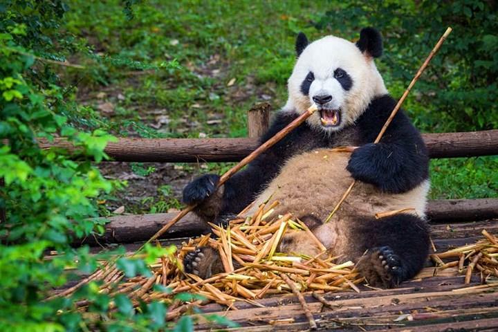 Pandalar artık nesli tükenmekte olan türler arasında değil