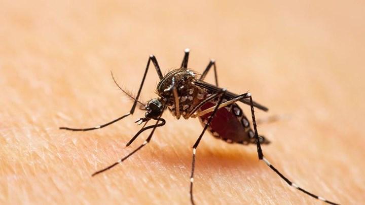 Asya Kaplan Sivrisineği, Karadeniz'de tehdit yaratabilir