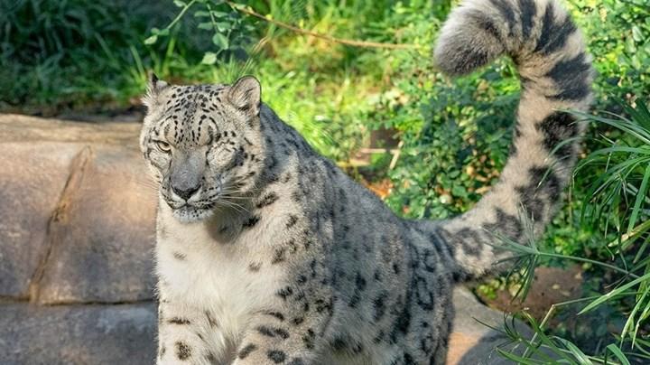 ABD'de bir kar leoparı Covid-19'a yakalandı