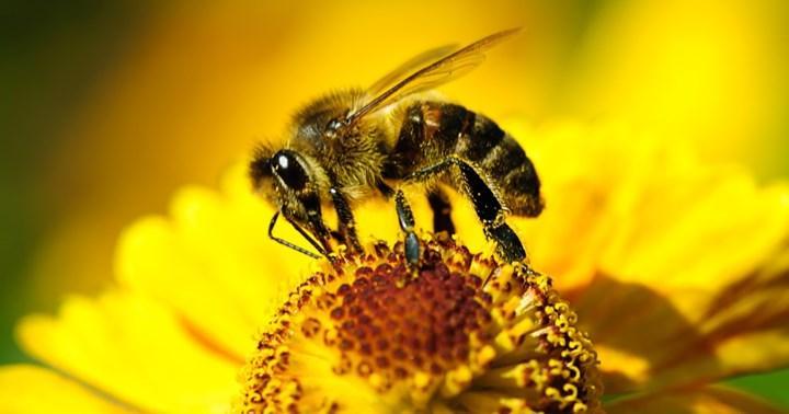 Kafein, arıların çiçekleri bulmasına yardımcı olabilir