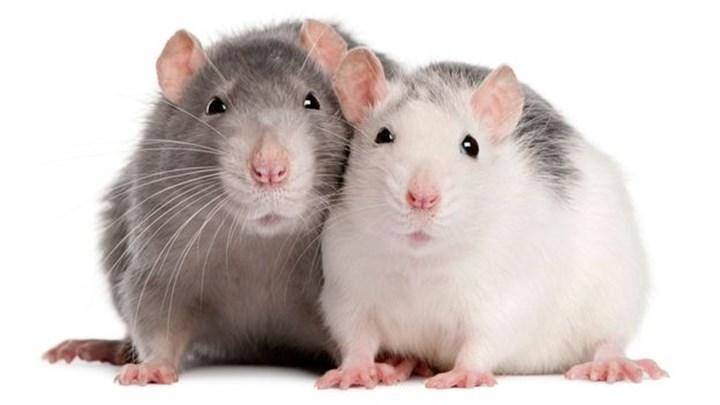 Yeni bir araştırmaya göre fareler arkadaş edinebiliyor