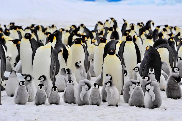 2100 yılına kadar imparator penguenlerinin %98'i yok olabilir