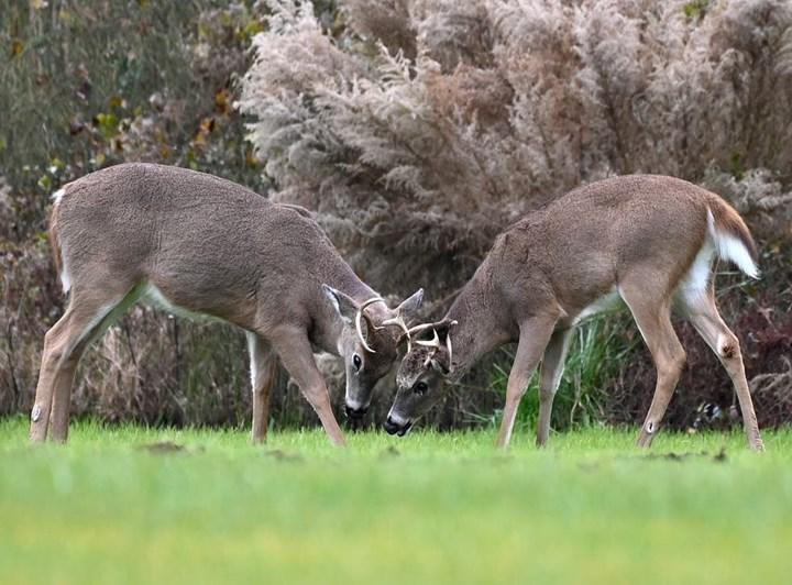 ABD'deki yaban geyiklerinin %40'ı Covid-19 geçirmiş olabilir