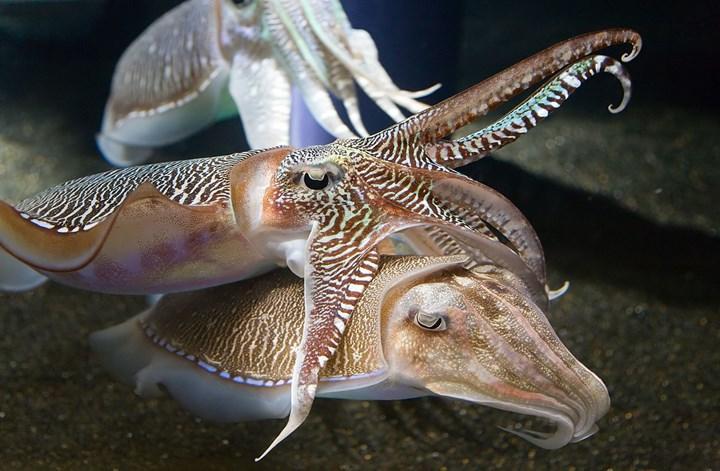 Araştırmaya göre mürekkep balıkları keskin bir hafızaya sahip