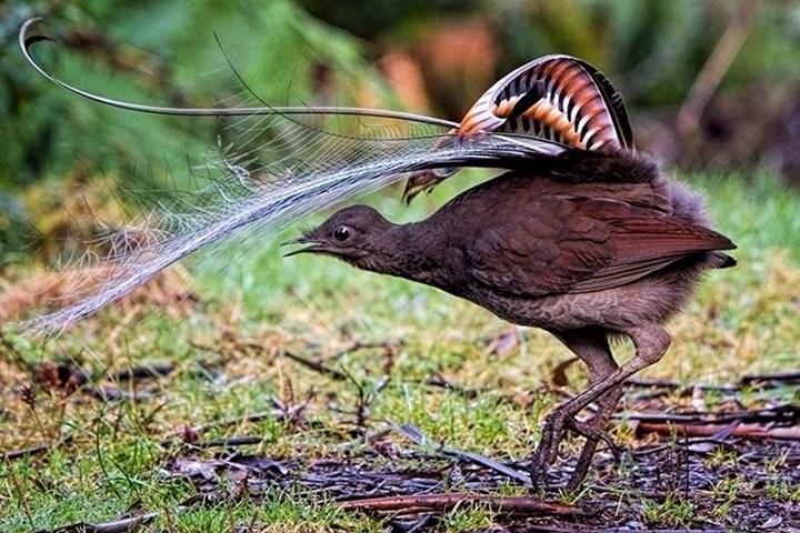 Avustralya'da bir kuş, bebek ağlamasını taklit ediyor