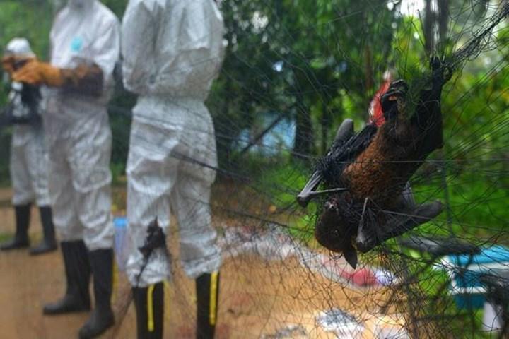 Nipah virüsünün kaynağı yarasalar