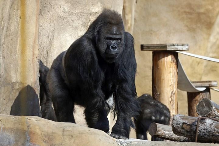 Hayvanat bahçesindeki bir goril