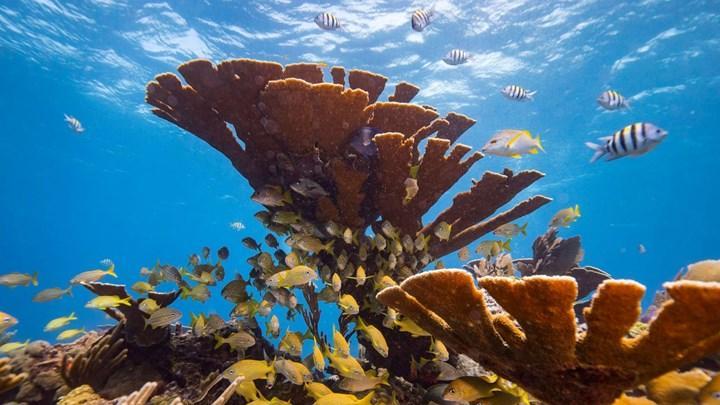 1950'lerden beri mercan resiflerinin yarısı yok oldu