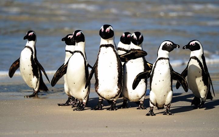 Afrika penguenleri