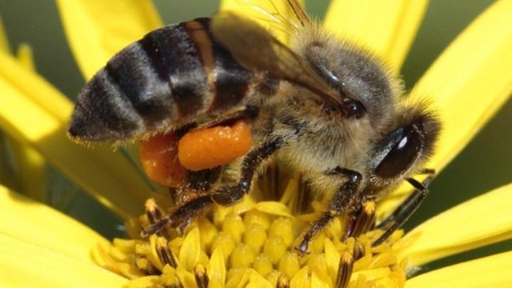 Cape bal arısı