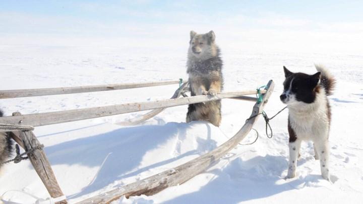 Sibirya köpeği