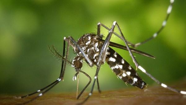 Asya Kaplan Sivrisineği, Karadenizde tehdit yaratabilir